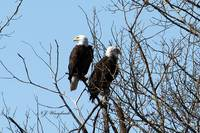 Bald Eagles2