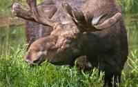 Bull Moose by David Kocherhans