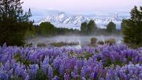Teton Lupines II by David Kocherhans