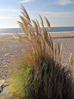 Dana Point Grasses