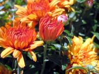 Yellow and Orange Mums