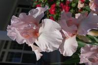 Beverly Sills bearded iris