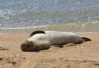 Monk Seal Napping at Tunnels Beach