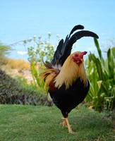 Rooster / Runner up to Hawaii State Bird