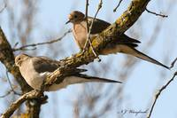 Mourning Dove 037
