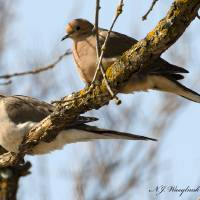 Mourning Dove 037 Art Prints & Posters by Nelson Wasylnuk