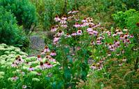 Coneflower Bounty