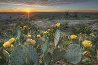 Texas Hill Country Images- Prickly Pear Cactus Sun