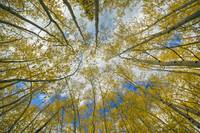 Colorado Images - Aspen Forest Tree Tops Autumn