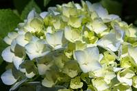 Pastel Green Blue White Hydrangea Flower Petals