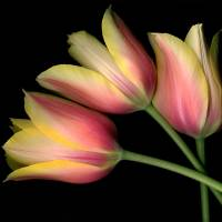 TULIPS YELLOW BEAUTYS Art Prints & Posters by Brenda Pike
