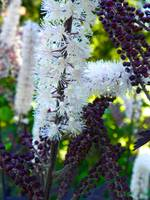 Actaea simplex Pink spike