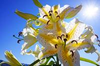 Yellow White Sunlit Lily Flowers Lilies Art prints