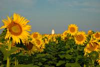 Amarillo Sunflower Rise