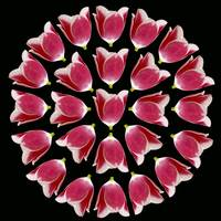 Circle Of Tulips