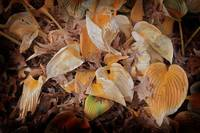 Orange Hosta Leaves