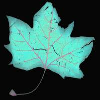 Turquois Leaf with Pink Veins