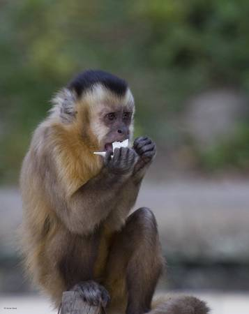 Macaques-028