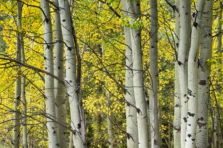 Autumn Aspen Tree Trunks In Their Glory