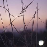 Long wild grass on summer evening purple square