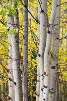 Aspen-Trees-Autumn-Color-Portrait-View