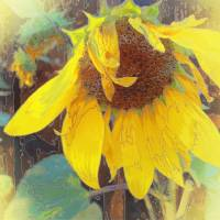 Old Sunflower Bowing by Faye Cummings