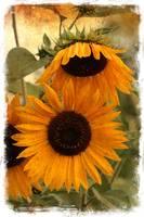 Rustic Sunflowers by Carol Groenen