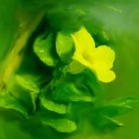 Yellow Mandevilla Art Prints & Posters by Usha Shantharam