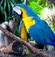 Blue Parrot Greeting