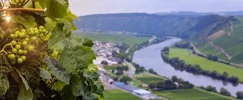 Grapes of Mosel
