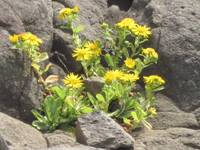 Yellow Flowers Growing On Rocks