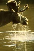 Moose Dipping His Head Into Water