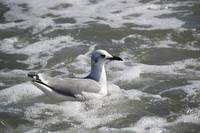 Laughing Gull Bobbing On The Waves
