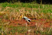 Indian Stork Eating in the Fields