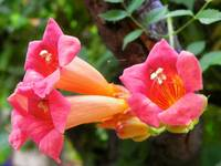 Red and Orange Trumpet Vine