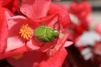 Green Beetle Clinging to a Flower Petal