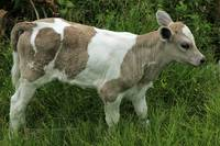 White Calf With Brown Spots