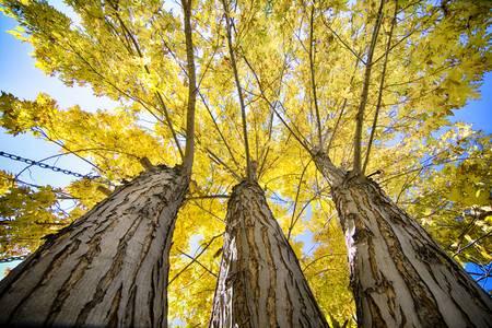 Standing Tall Autumn Maple