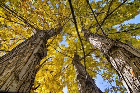 Golden Maple Standing Tall