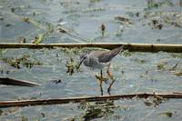 Lesser Yellowlegs in  a Lake