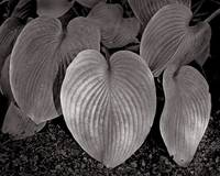 Wilted Hosta Leaves  (Browntone)