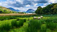 Sheep Grazing At Loweswater