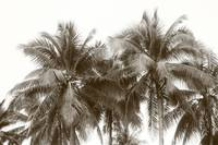 Tropic Coconut tree, monochrome Singapore