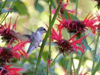 Hummingbird On The Jacob Cline Bee Balm