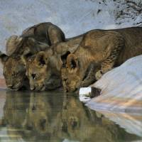 Thirsty Kittens by Donnie Shackleford