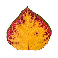 Green Red and Yellow Aspen Leaf 1