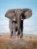 Charging African Elephant painted 2004 006
