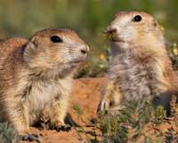 Prairie Dog and Wasp