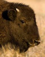 Bison Baby Portrait