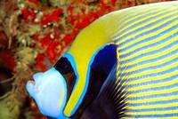 Emperor Angelfish Close